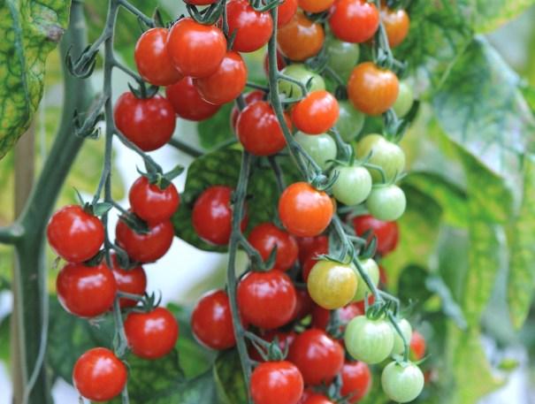 Tomato 'Sweet Aperitif' from Thompson  & Morgan