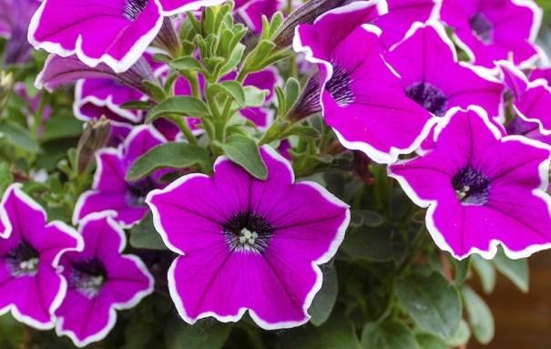 pétunia à fleurs violettes