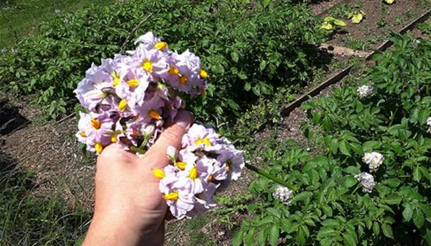 Removing potato flowers