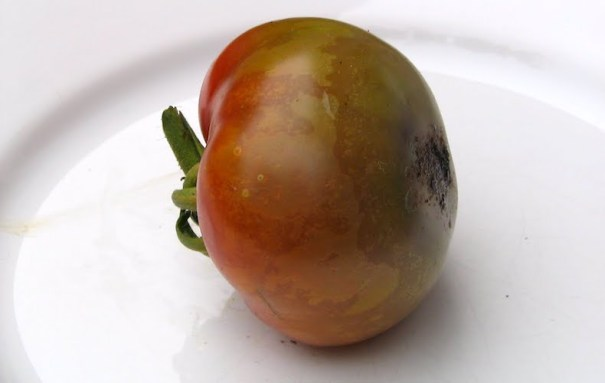 Tomato blight on a plate