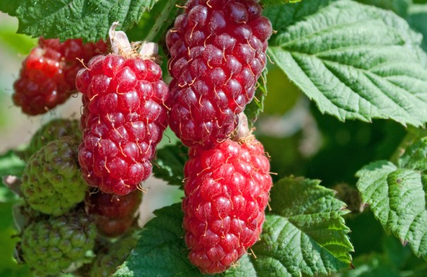 Loganberries from Thompson & Morgan