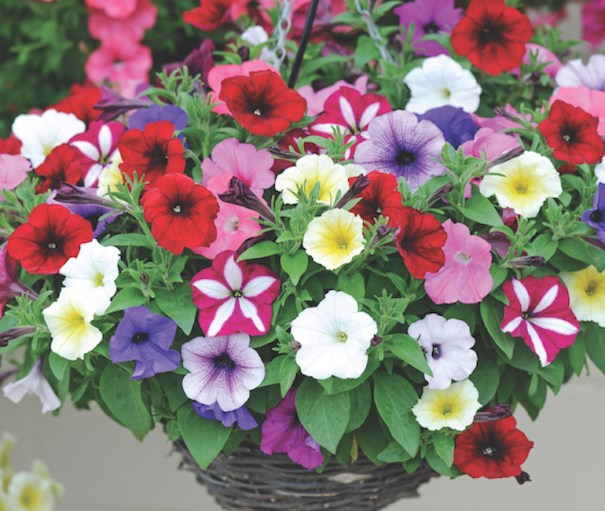 Petunia 'Easy Wave Ultimate Mixed' from Thompson & Morgan