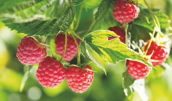 Raspberry 'Polka' from Thompson & Morgan