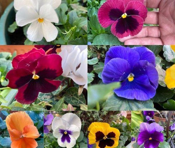 Collection de pensées à fleurs d'hiver