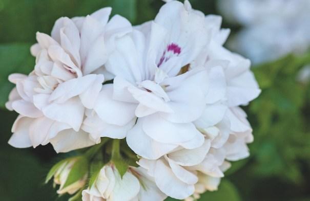 Géranium 'White Rose' de Thompson & Morgan