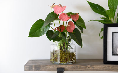 Anthurium Plant Care Guide