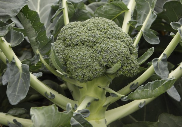 Broccoli 'Monclano' F1 Hybrid (Calabrese) from T&M