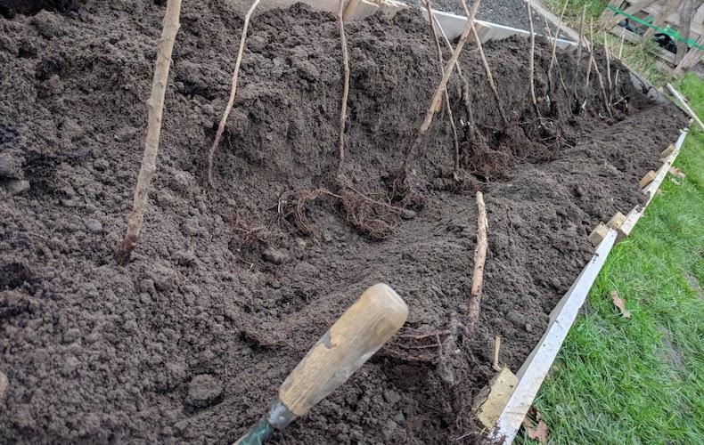 Planting bare root raspberries ground