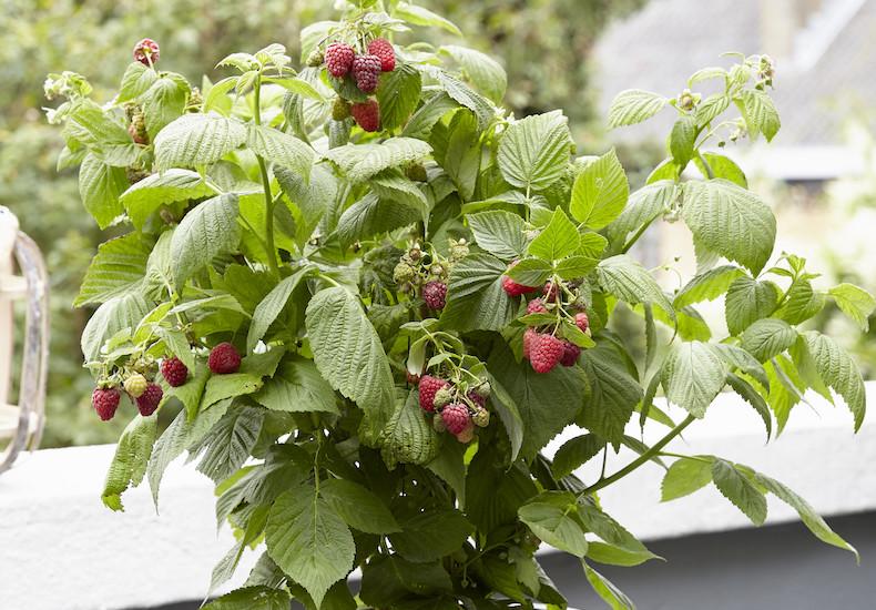 Raspberry 'Sweet Little Sister' from T&M