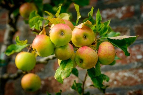 Apple 'Blenheim Orange' from Thompson & Morgan