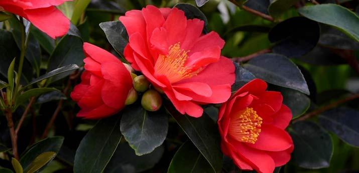 Camellia '1001 Summer Nights' Jasmine