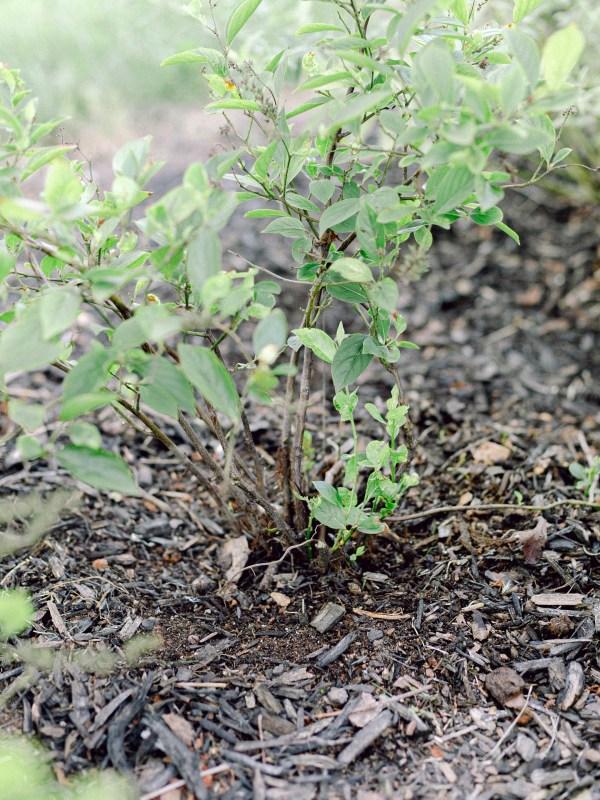 green shrub with mulch around it