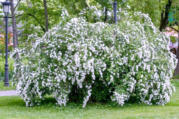 Large, overgrown shrub with white blooms.