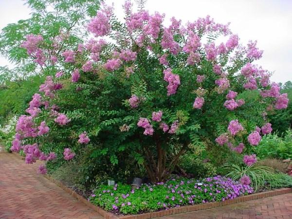 Crape myrtle shrub with gorgeous purple blooms.