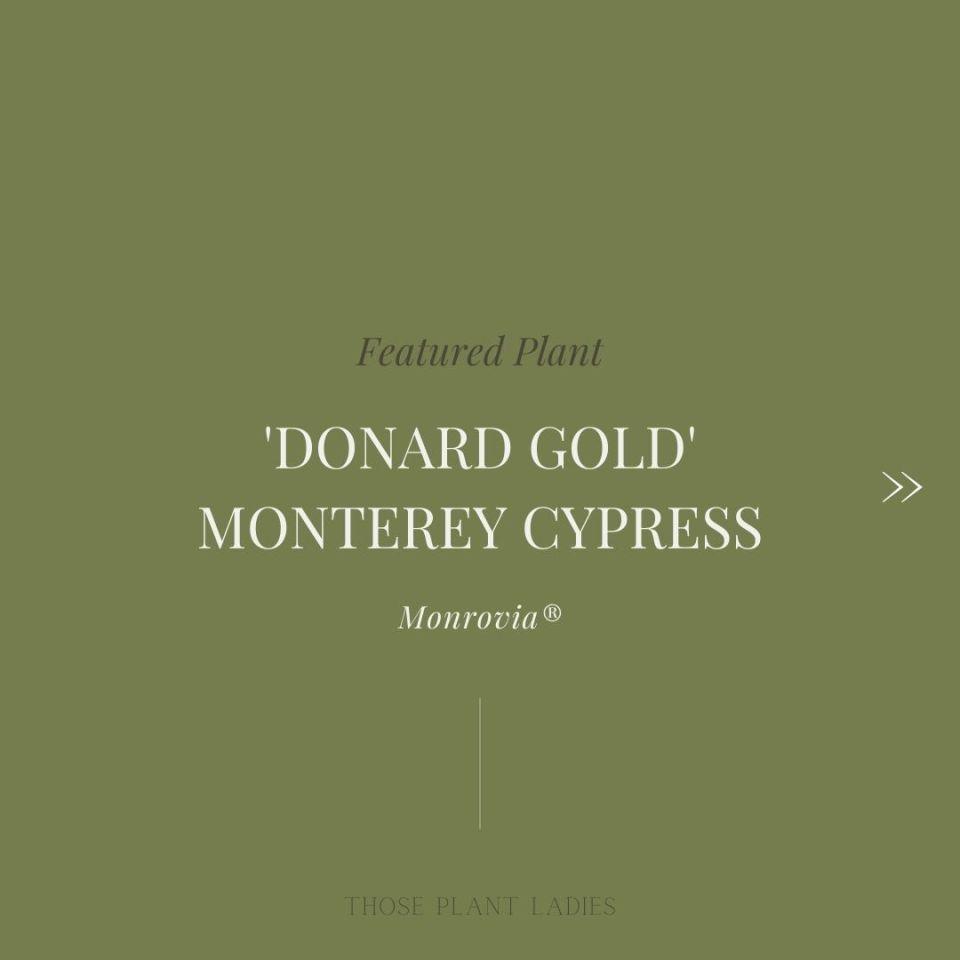 """Featured plant: donard gold monterey cypress"" text."