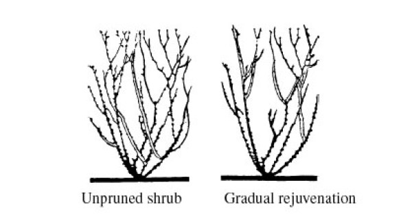An example of an unpruned shrub next to a shrub with gradual rejuvenation to curb the speed of growth.