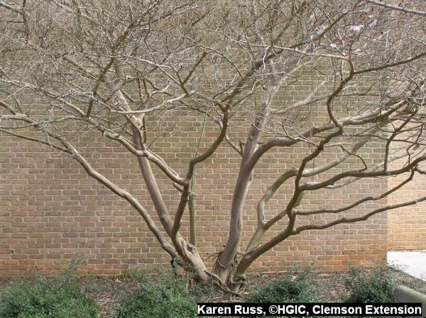 Gorgeous natural architecture of a properly pruned crape myrtle.
