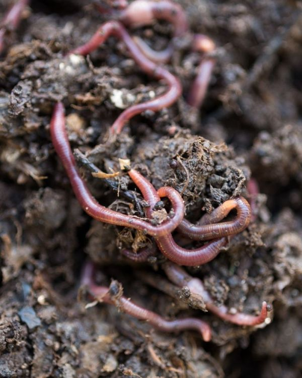 Up-close look at worms and other critters necessary to break down the compost.