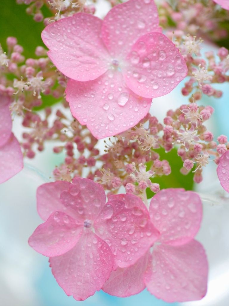 Close view of pink hydrangea blooms.