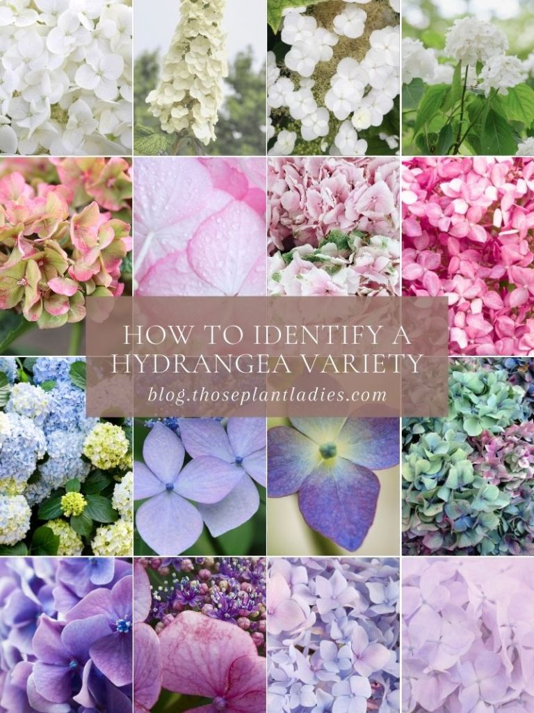 How to identify a hydrangea variety; information from Those Plant Ladies.
