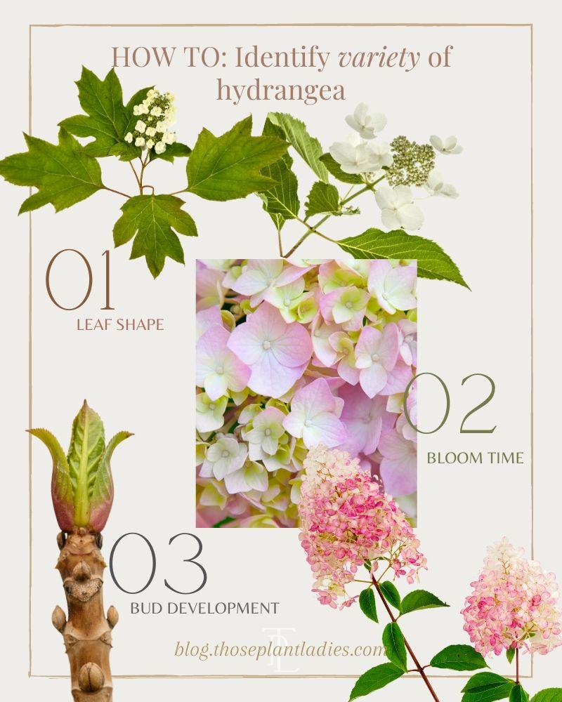 How to identify a hydrangea bloom; information from Those Plant Ladies.