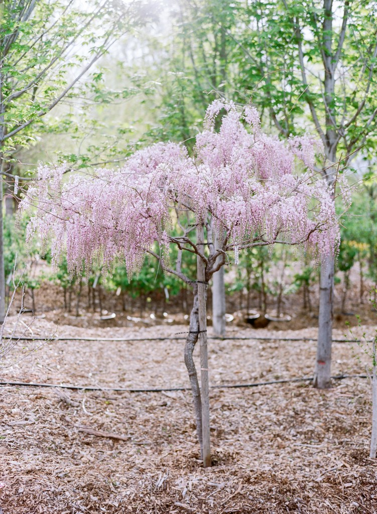 Beautiful flowering trees from Creekside Tree Nursery featured on the Those Plant Ladies blog.