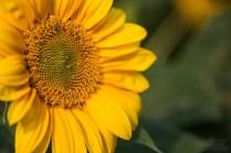 ThorstenSteiner_Sonnenblumen_3