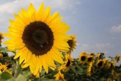 ThorstenSteiner_Sonnenblumen_4