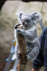 ThorstenSteiner_Koalas_5