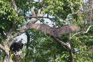 Vultures stretching