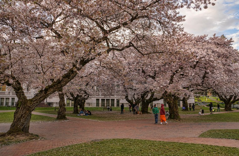 Walk with Me under the Cherry Blossom Trees