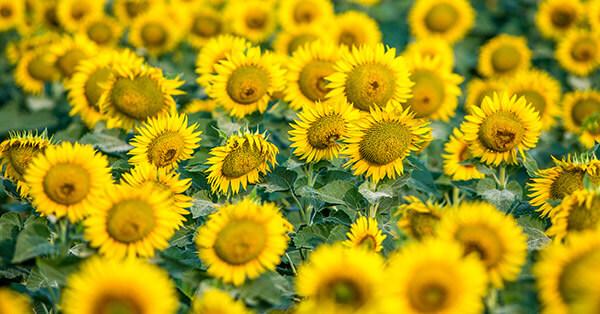 Taman Bunga Terindah di Indonesia-taman-bunga-matahari