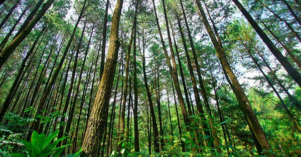 Tempat Wisata di Sentul - Hutan Pinus