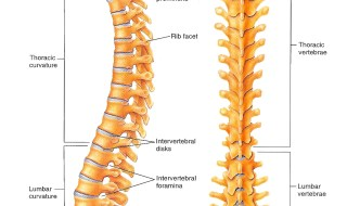 Vertebrae-pictures-diagrams
