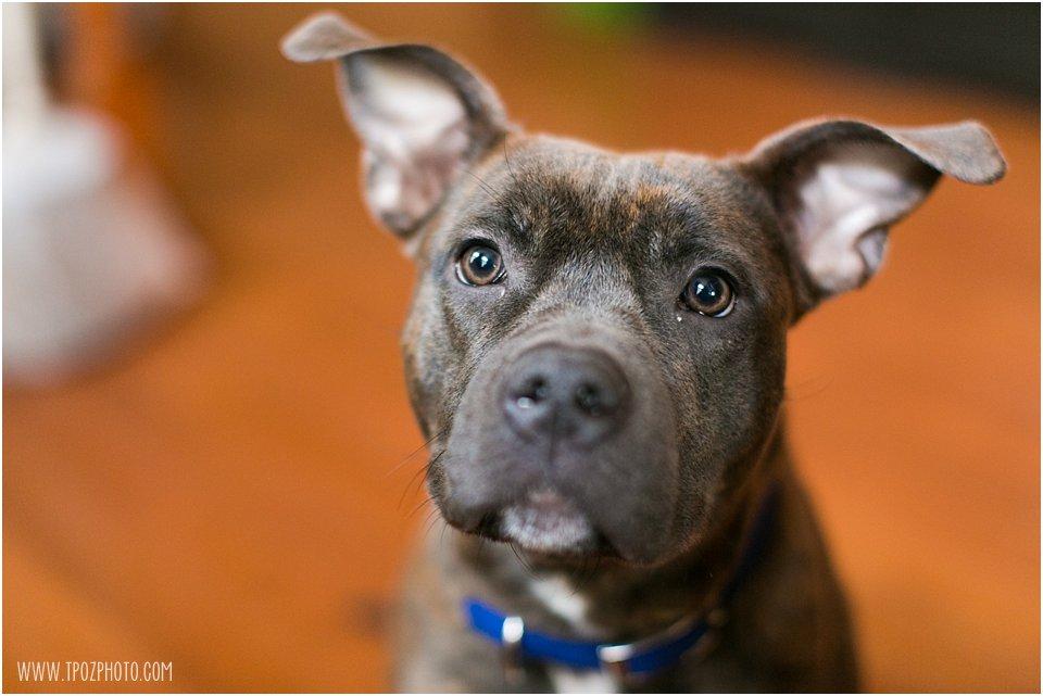 pitbull foster dog