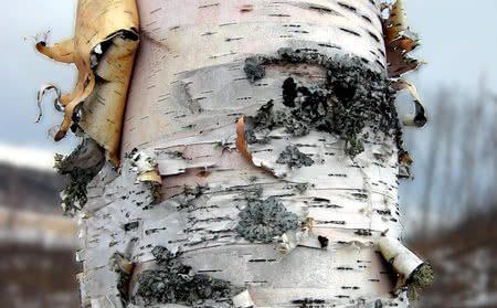 Birch Bark Flour