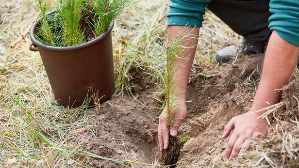 planting a peat plug seedling