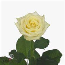 Rose Blonde Beauty