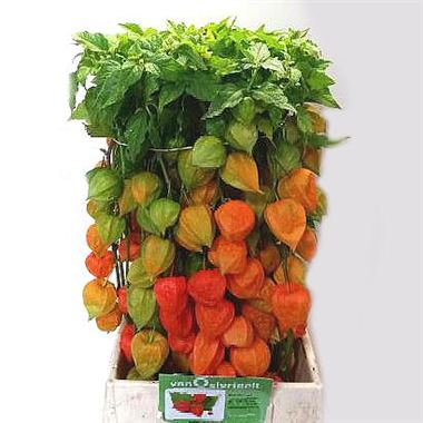 physalis-chinese-lantern-stems-orange-wholesale-4