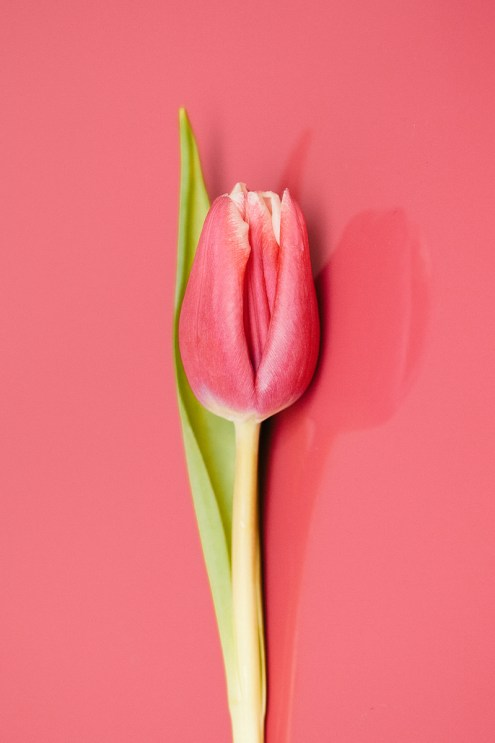 3-31_history-of-tulips_images-2a