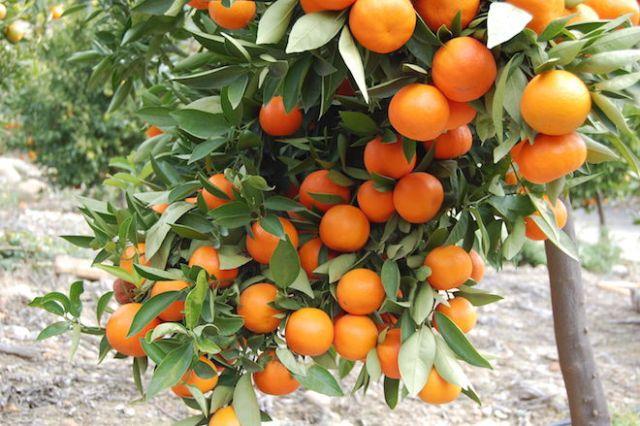 awesome-orange-tree-desktop-background