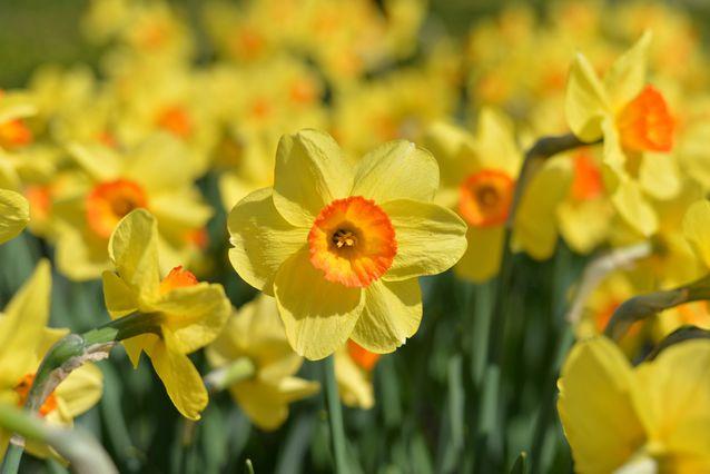 daffodils-field.jpg.638x0_q80_crop-smart.jpg