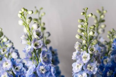 Corporate Delphiniums - Triangle Nursery Ltd