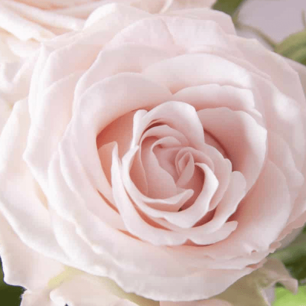 Soft Pink Aerobic Spray Rose