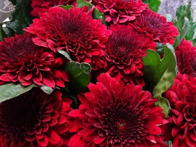 Chrysanthemum Sgl Barca Red