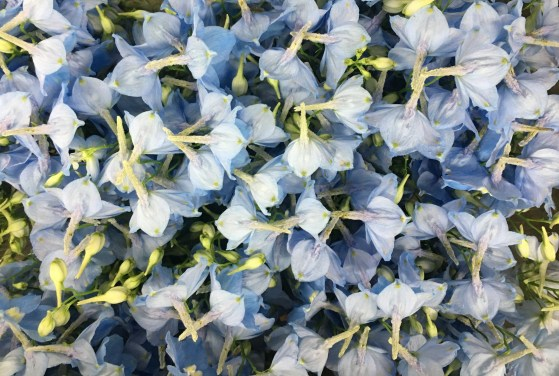 Buy Delphiniums at Triangle Nursery