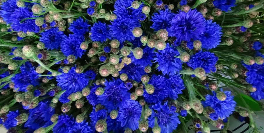 Cornflowers - Triangle Nursery Ltd