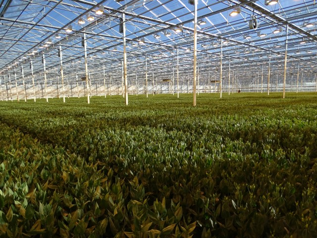 Growers Tour: Lisianthus with Triangle Nursery