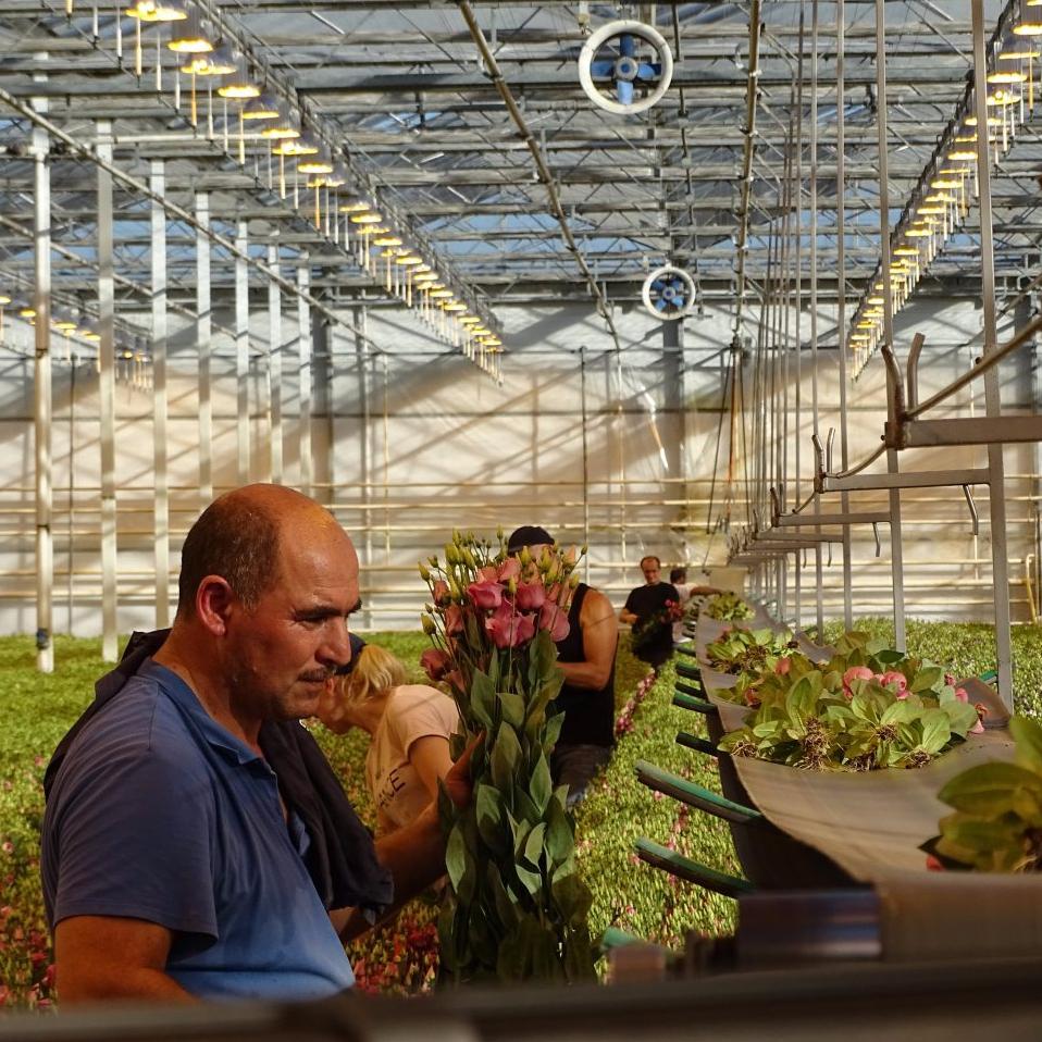 Growers Tour - Lisianthus