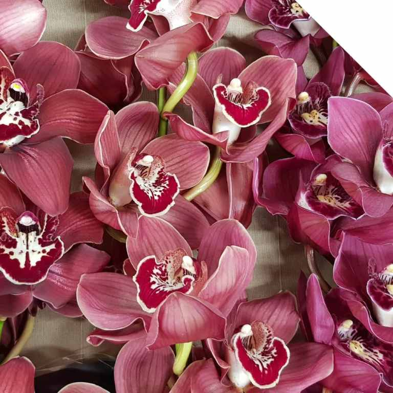 How to Find the Perfect Christmas Cymbidiums